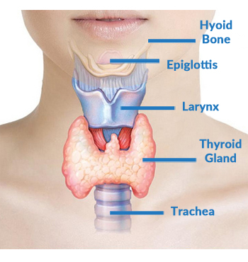 thyroid-diagram