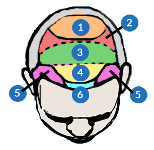 Head Diagram - areas of the scalp frontal temporal crown vertex
